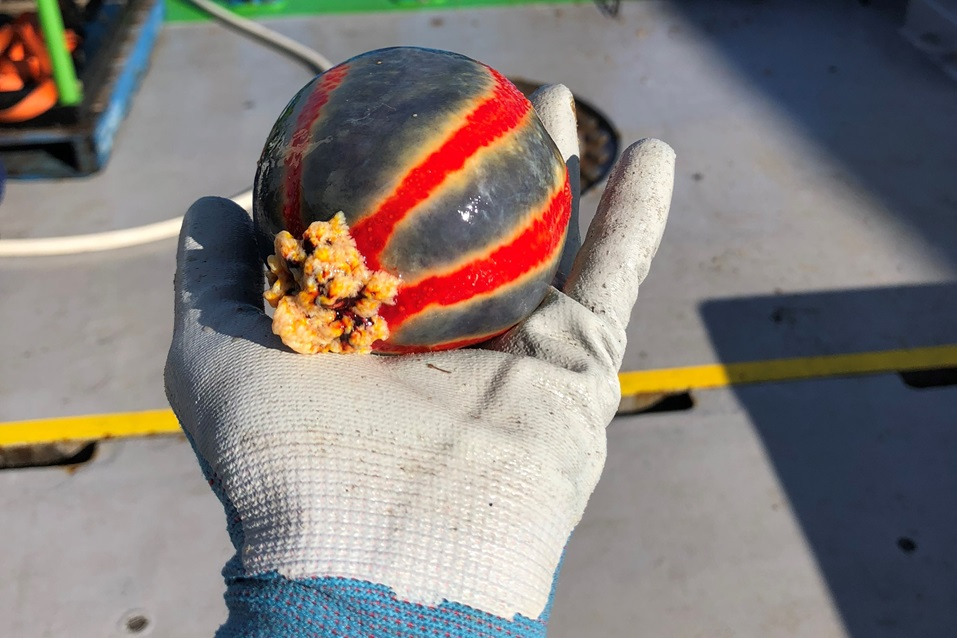 A gloved hand holding a bright red striped spherical sea cucumber.
