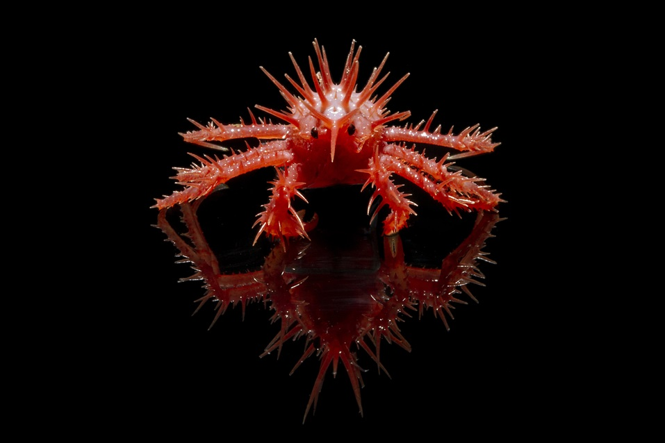 A spiky bright red crab on a black background.