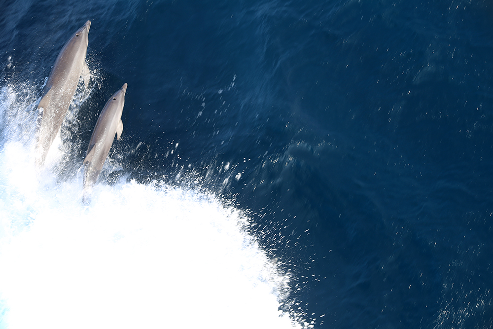 Two dolphins seen from above the boat breaking the waves
